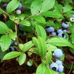 Borovnica, bobičasto voće za naše zdravlje