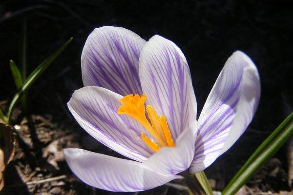 cvijet šafrana